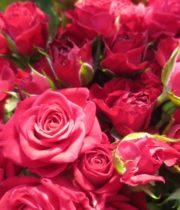 Rose Spray, Raspberry Delight-CA