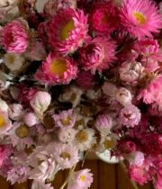 Dried Rodanthe-natural Pink