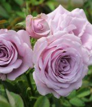 Rose Spray, Sterling Sensation-CA