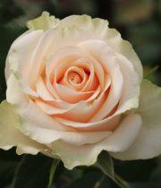 Rose, Talea-CA
