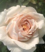 Rose Garden, Vanilla Fragrance-CA