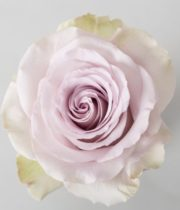 Rose, Andrea-SA