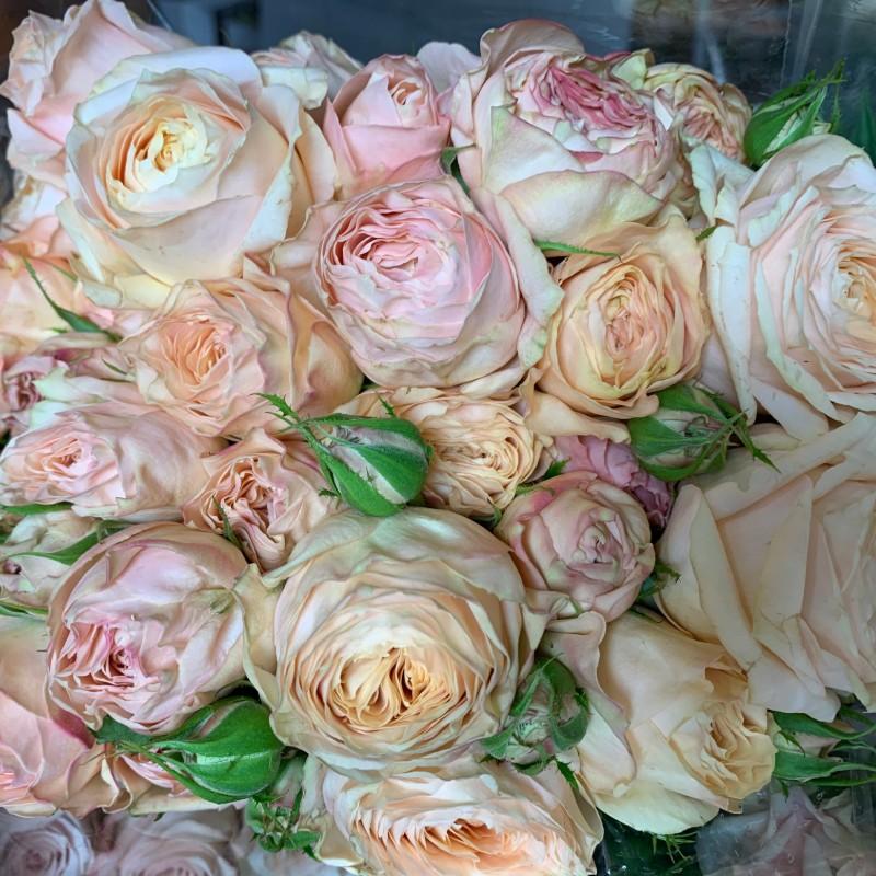 Chantilly Lace Garden Spray Rose