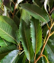 Chestnut Foliage