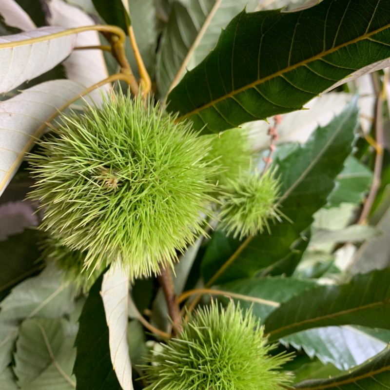 Chestnut Foliage