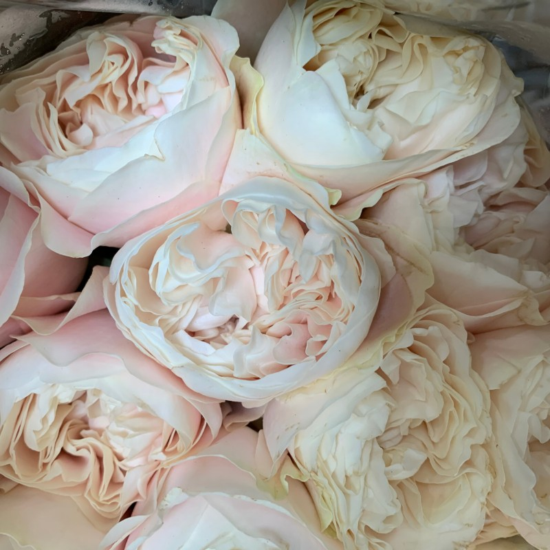 Chiffon Garden Rose