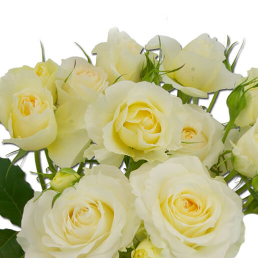 Clair de Lune Garden Spray Rose