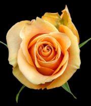 Rose, Dijon-SA