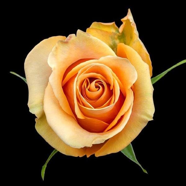 Dijon Rose