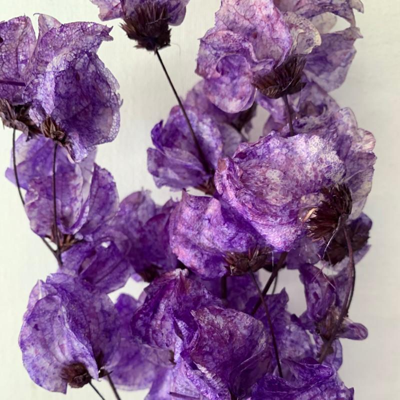 Dried Bougainvillea lavender