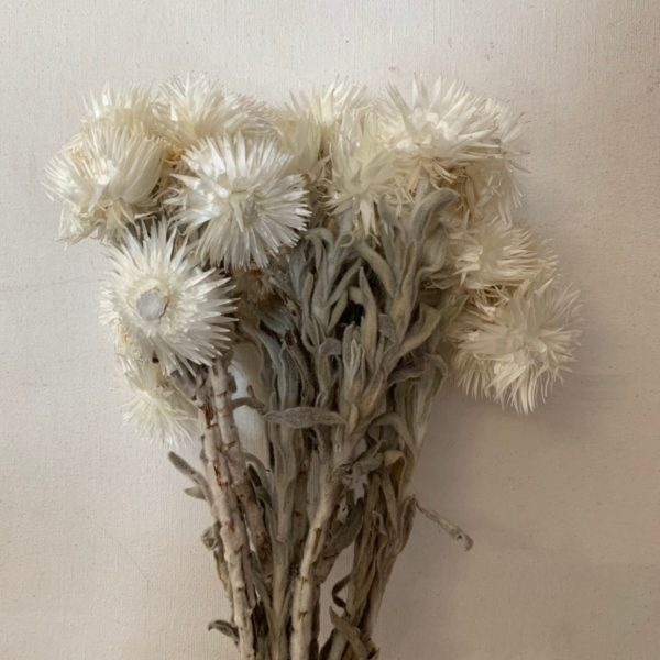 Dried Everlasting White