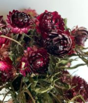 Dried Strawflower-red/burgundy