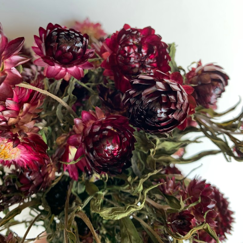 Dried Strawflower red burgundy