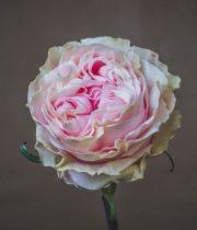 Rose, Duchesse-SA