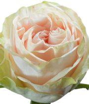 Rose, Garden Spirit-SA