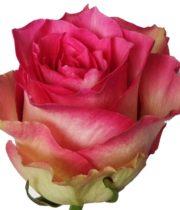 Rose, Malibu-SA
