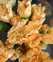 Carnations, Specialty-Minami