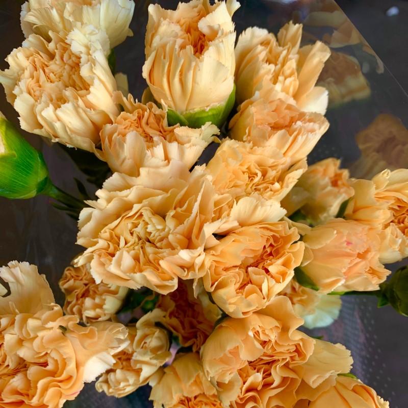 Minami Carnation