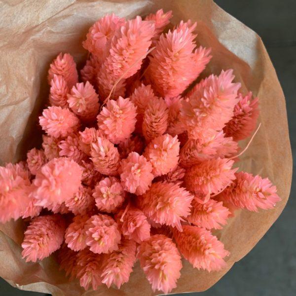 Phalaris coral