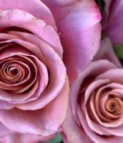 Rose, Purple Moon-SA