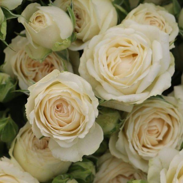 Sagittarius Spray Rose