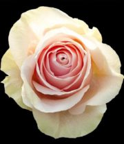 Rose, Sandy-SA