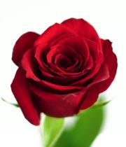 Rose, Scarlatta-SA