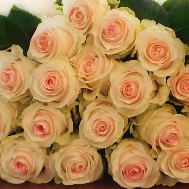 Seniorita Rose