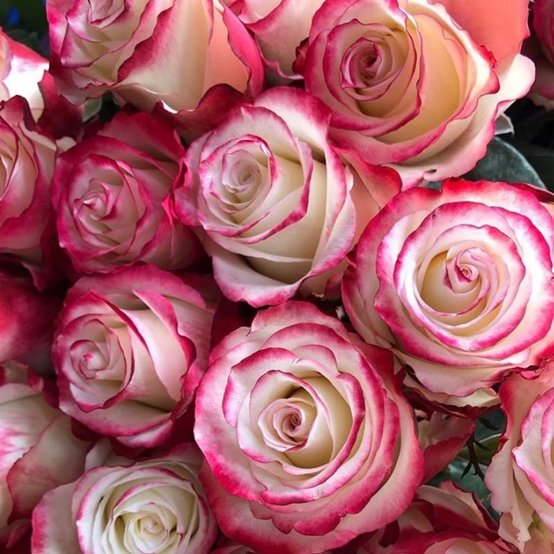 Sweetness Rose