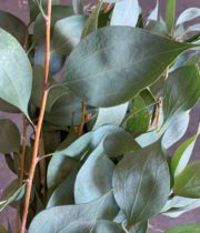 Eucalyptus, Tear Drop