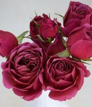 Rose Garden Spray, Wabara Aoi Fuga-CA
