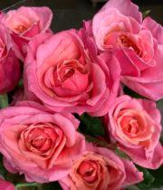 Rose Garden, Wabara Miyabi-CA