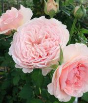 Rose Garden, Wabara Senlitsu-CA
