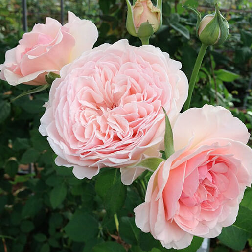 Wabara Senlitsu Rose