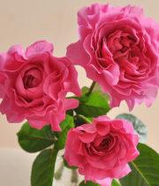 Rose Garden, Wabara Tsukiyomi-CA
