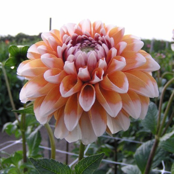 Bahama-Apricot-Dahlia-Tubers-for-sale-in-America