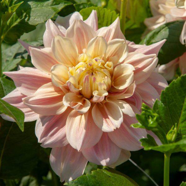Break-Out-Dinner-Plate-Dahlia-Tubers-for-Sale