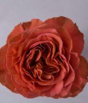 Rose, Coral Expression-SA