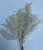 Dried Leather Leaf-bleached