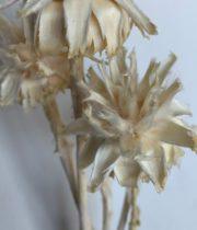 Dried Plumosum Leucadendron-bleached