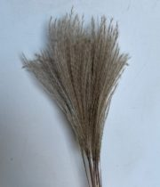 Dried Eualia Aurea-natural