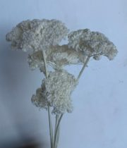 Dried Yarrow-bleached