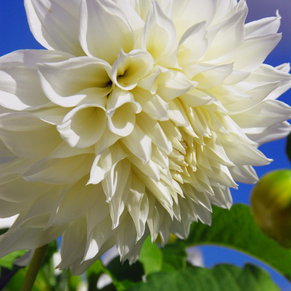 Fleurel-White-Dinnerplate-Dahlia-Tubers-for-Sale