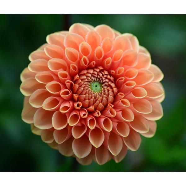 Jowey-Linda-Orange-Ball-Dahlia-Tuber-for-Sale
