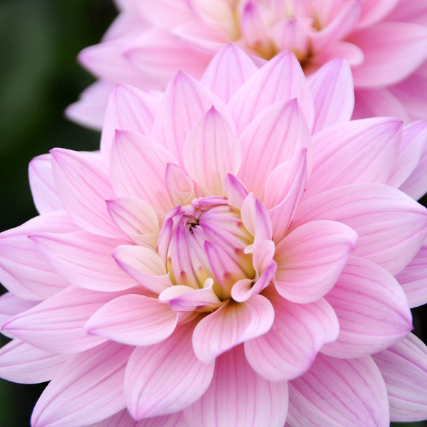Karma-Prospero-Pink-Dahlia-Tubers-for-Sale