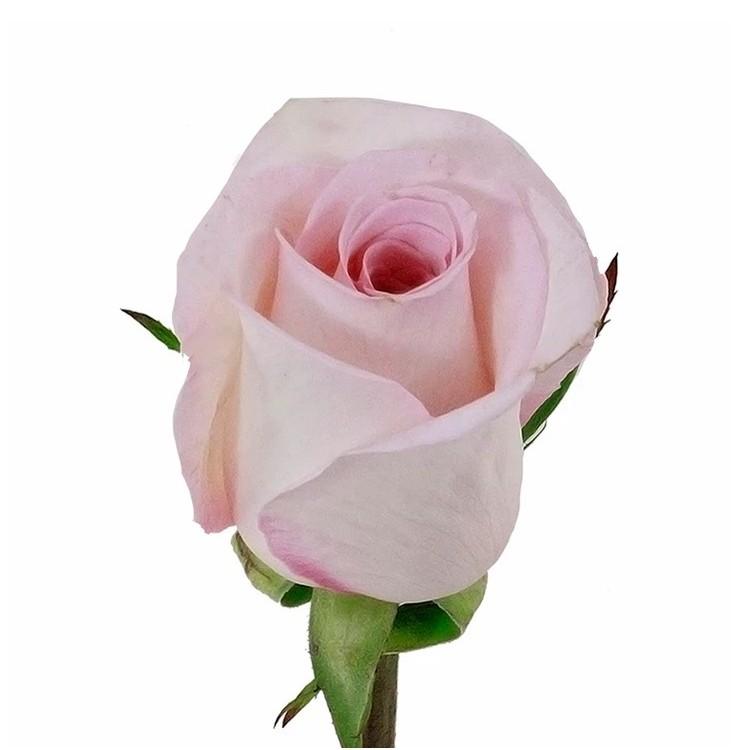 Katharina Roses