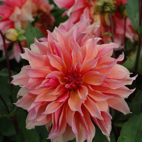 Labyrinth-Dahlia-Tubers-for-Sale