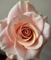Rose, Phoenix-SA