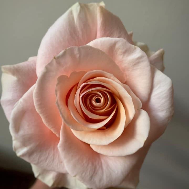 Phoenix Roses