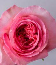 Rose, Pink Expression-SA